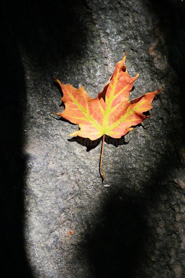 在影子的孤立枫叶 免版税图库摄影