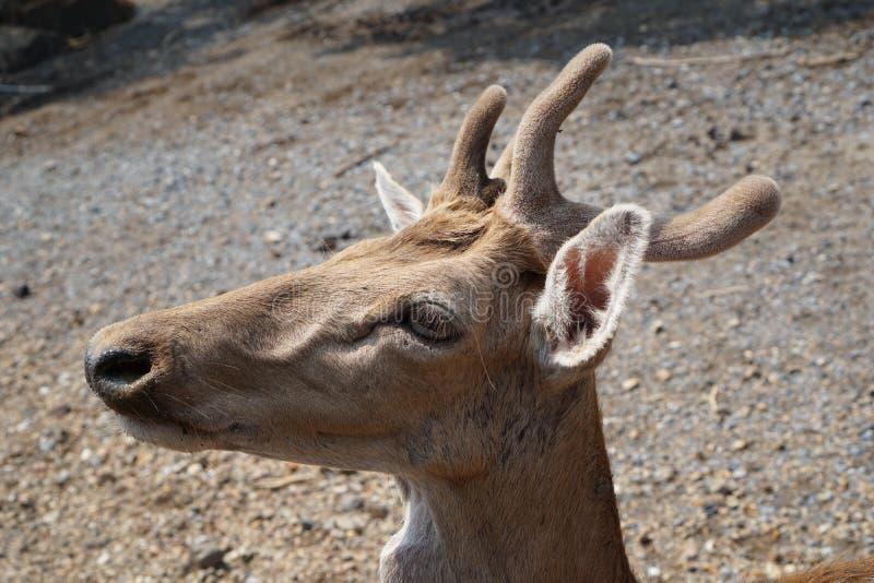在徒步旅行队世界的Eld的鹿 图库摄影