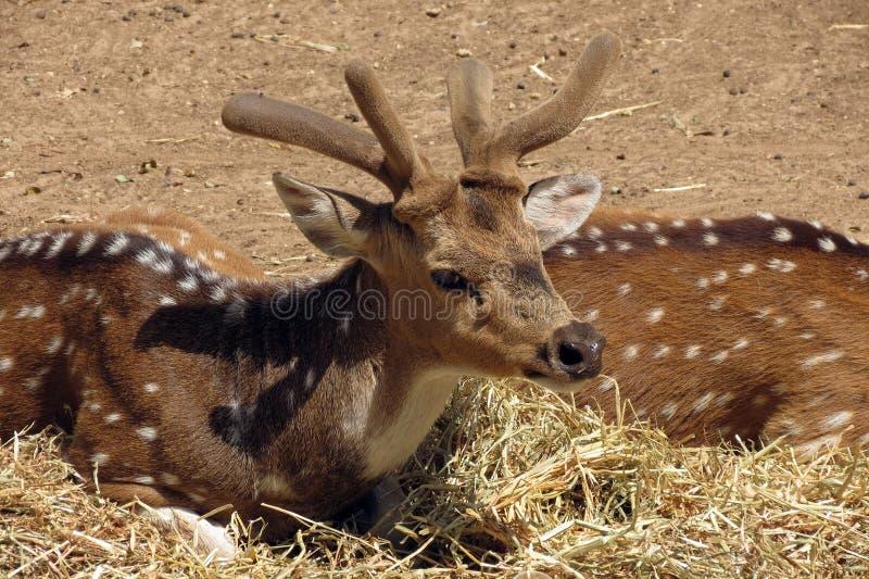 在徒步旅行队拉马干,以色列的被察觉的鹿 库存照片
