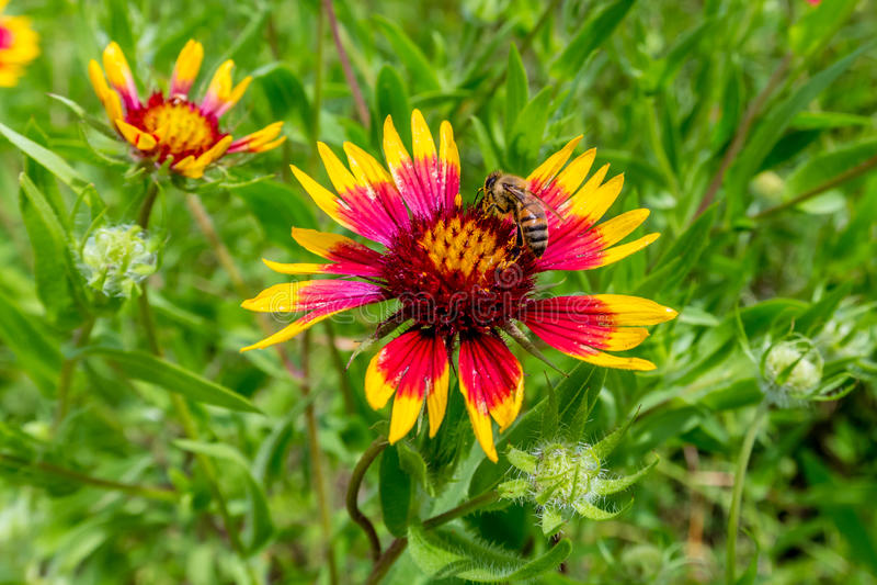 在得克萨斯印地安一揽子(或火轮子)野花的蜂蜜蜂 免版税库存照片
