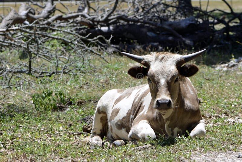 在得克萨斯大农场的短的有角的长角牛 库存照片