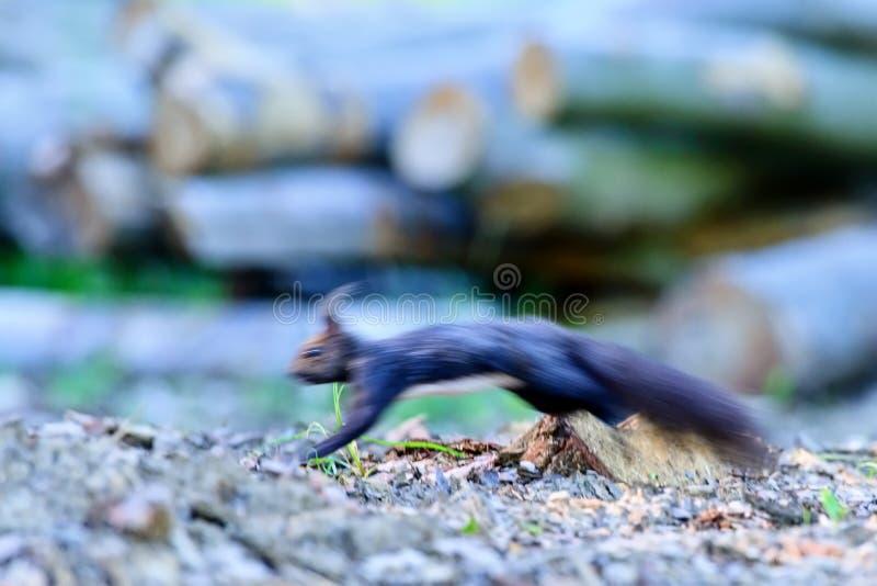 在快速的奔跑的被弄脏的灰鼠 免版税库存照片