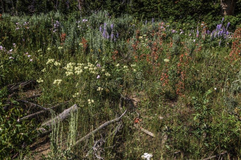 在怀俄明风河范围的野花 库存照片