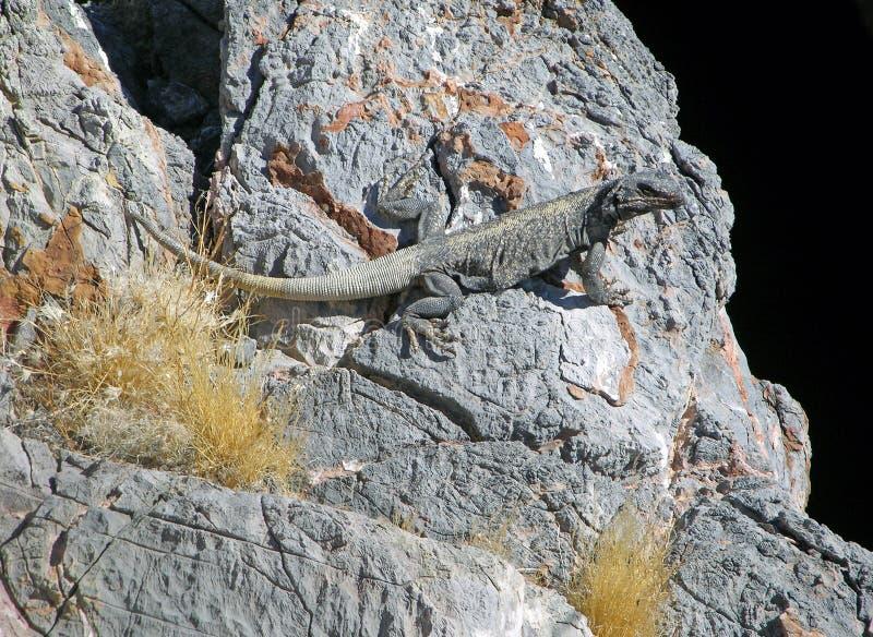 在恶魔孔的Chuckwalla蜥蜴在死亡谷,内华达 免版税图库摄影
