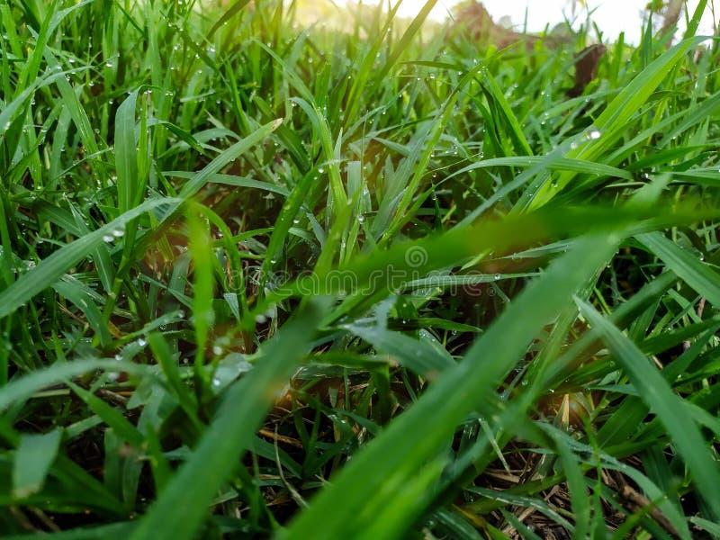 在您看时候,在绿草的上面的很多露滴早晨,那里是橙色阳光,感到新鲜 免版税库存照片