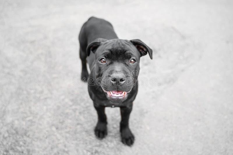 在愉快和微笑的小狗英国斯塔福德郡杂种犬的顶视图户外 库存图片