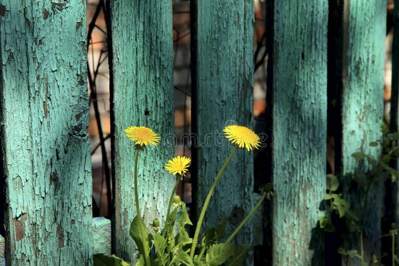 在愚笨地片状绿色被绘的篱芭的背景的三个黄色蒲公英由板条做成 免版税库存照片