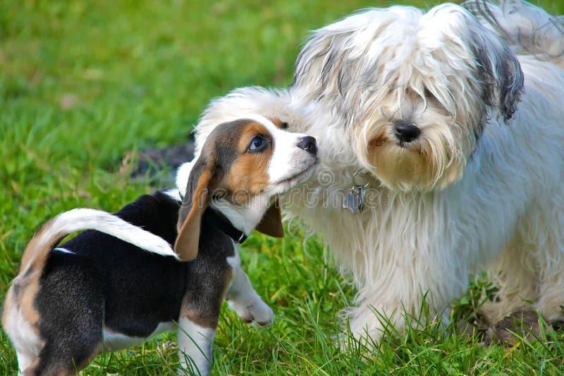 在戏剧的小狗 免版税库存图片