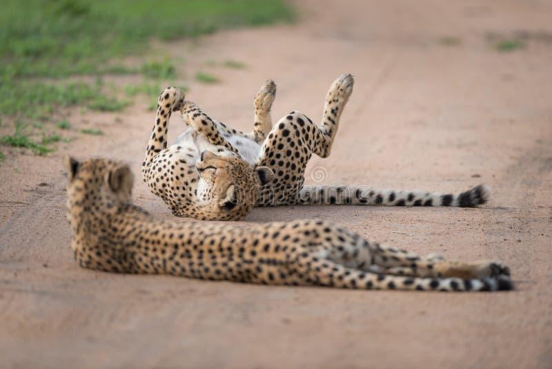 在戏剧的猎豹在土路 免版税库存照片