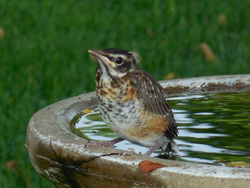 在戏水盆的好奇雏鸟罗宾 库存图片