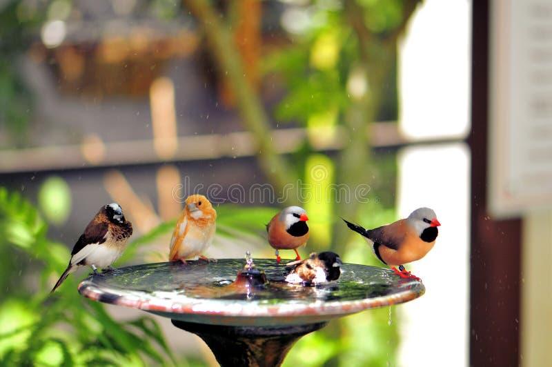 在戏水盆,佛罗里达的五只雀科鸟 免版税库存照片