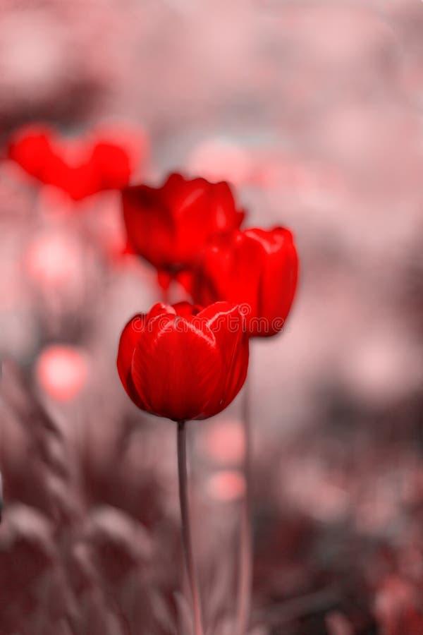 在成为不饱和的blured背景的红色郁金香开花 选择聚焦,被定调子的图片 免版税库存图片