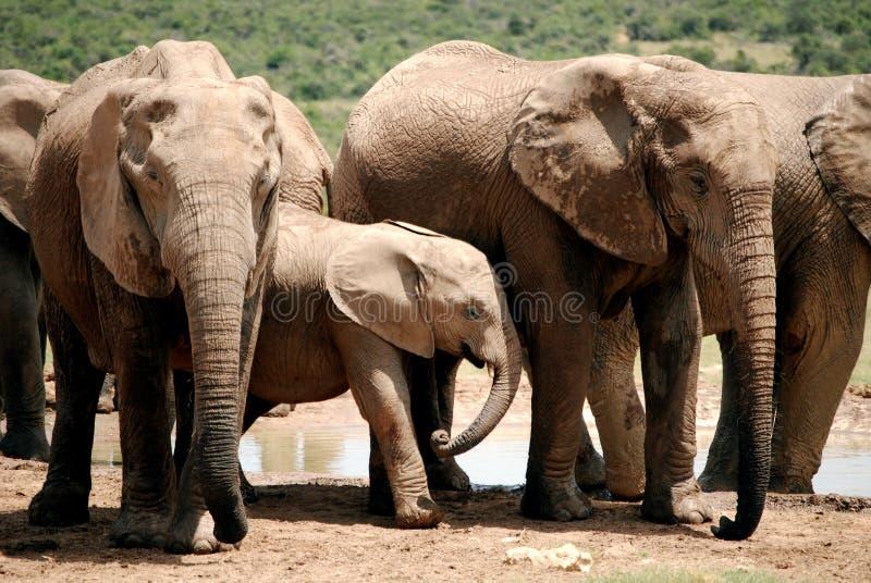 在成人大象中的婴孩大象 库存图片