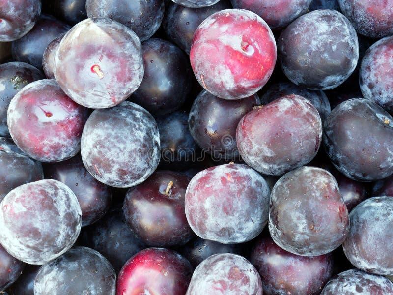 在成熟红色和紫色李子的酵母绽放 库存图片