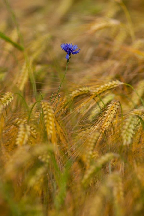 在成熟谷物中的唯一矢车菊在领域 免版税库存照片