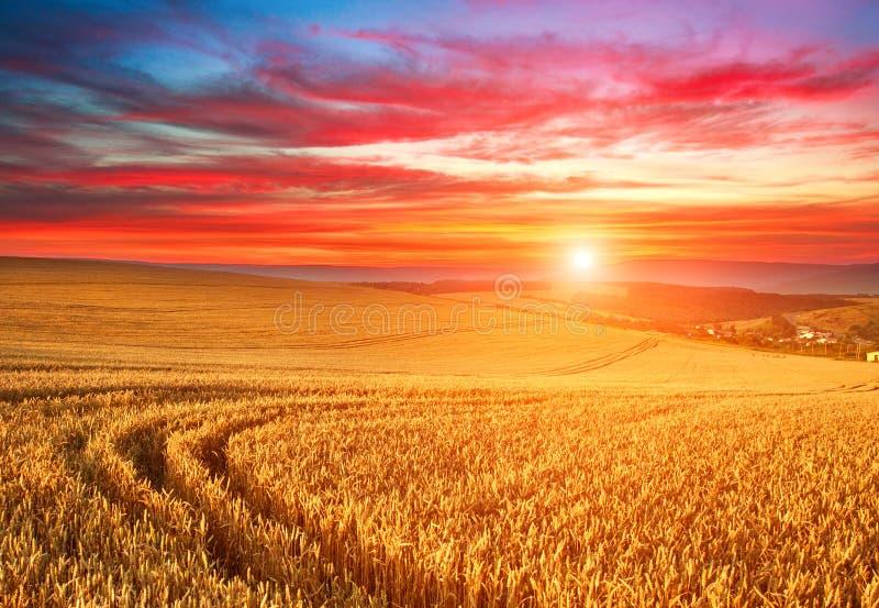 在成熟麦子,在天空,庄稼季节农业谷物丰收的五颜六色的云彩的领域的印象深刻的剧烈的日落 免版税图库摄影