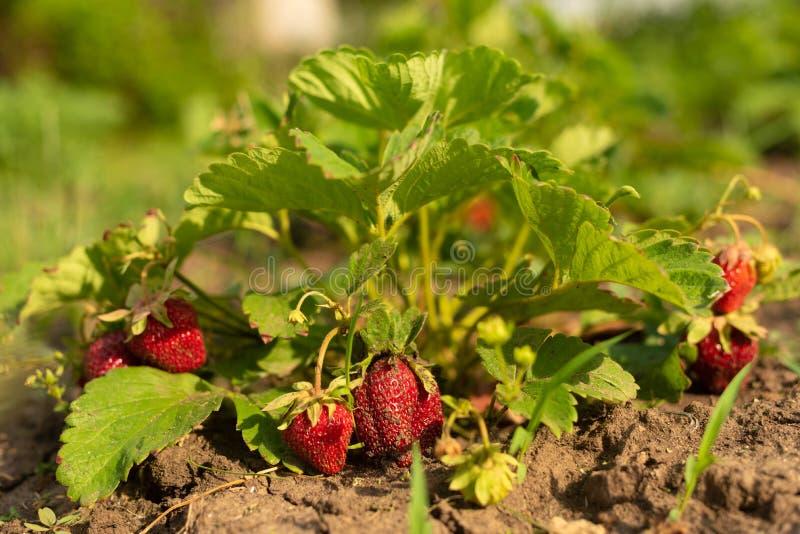 在成长的草莓灌木在庭院 日落光 成熟莓果和叶子 果子生产 聪明的农业,农场 免版税库存照片