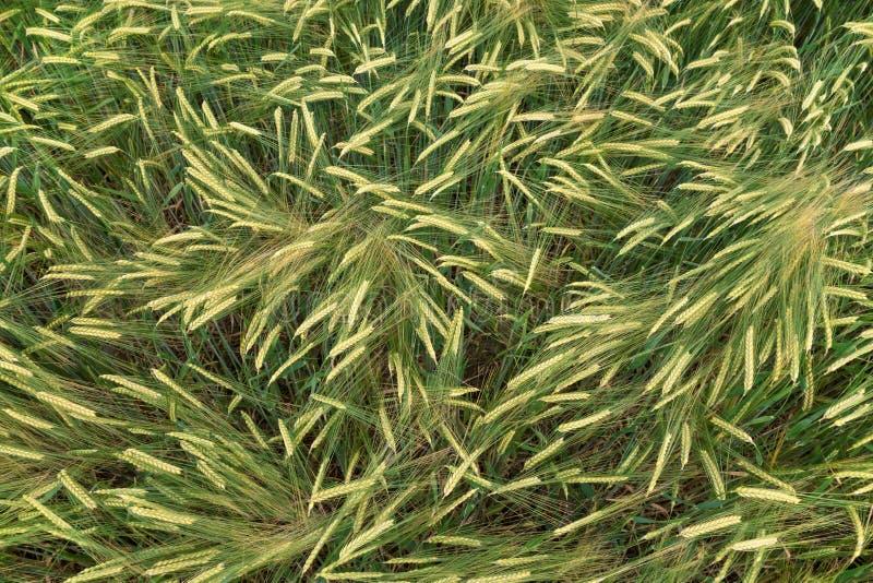在成长的绿色大麦 免版税库存照片