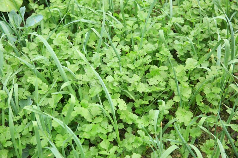 在成长的绿色香菜和大蒜叶子 库存照片