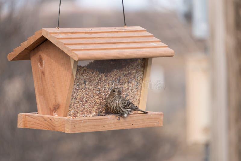在我们的饲养者的母室内燕雀在新墨西哥 库存图片