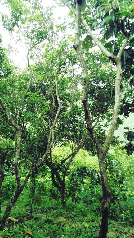在我的村庄附近的绿色Rainyforest 免版税库存图片