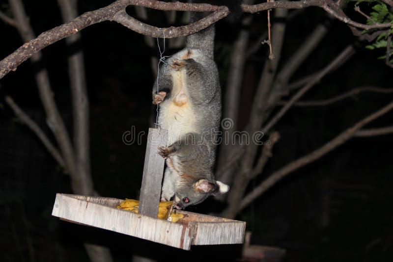 在我的树的负鼠 库存图片