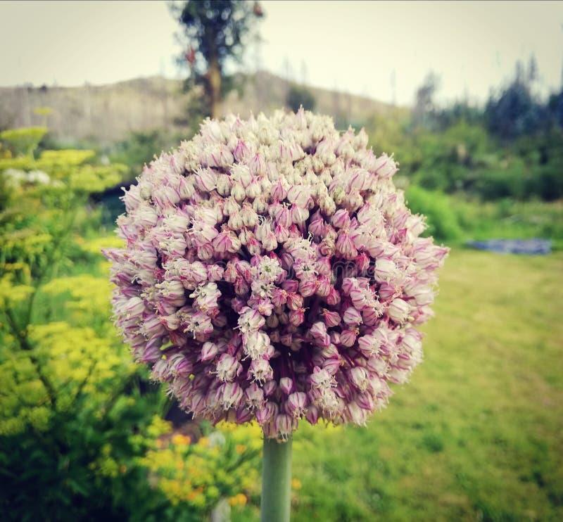 在我的西班牙庭院爱自然的葱花 免版税库存图片