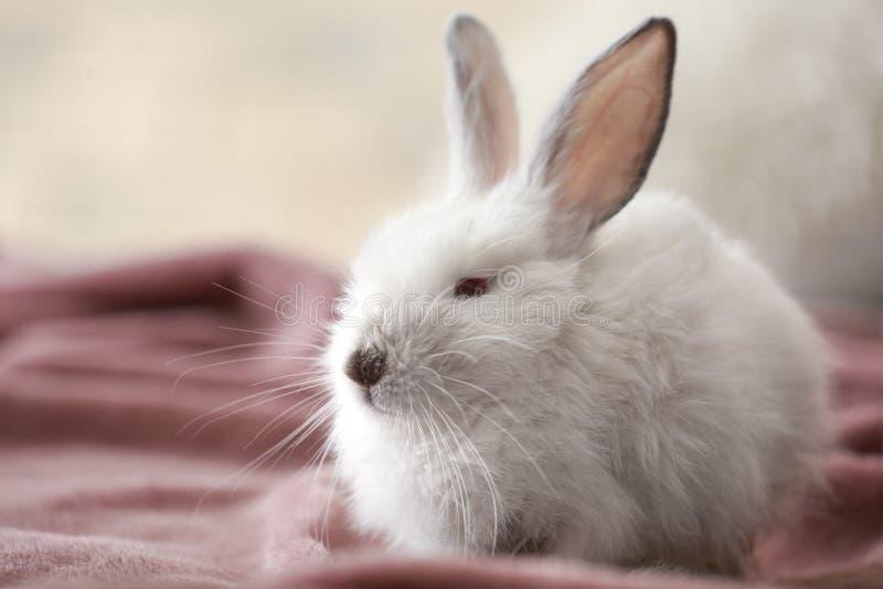 在户内格子花呢披肩的逗人喜爱的蓬松兔子 免版税图库摄影
