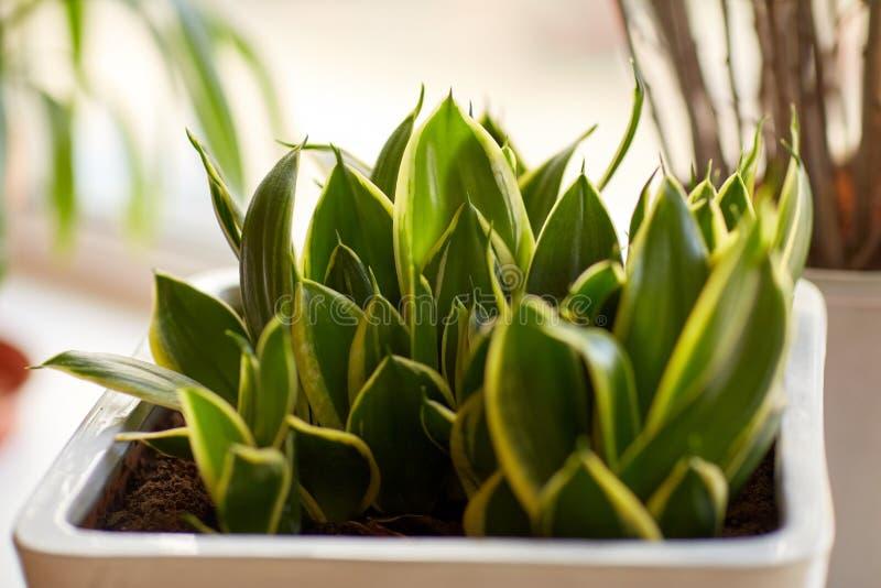 在户内花盆的美好的异乎寻常的百合科植物 免版税库存图片