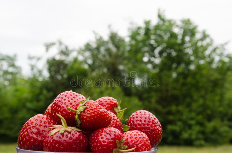 在户外碗的新鲜的草莓 库存图片