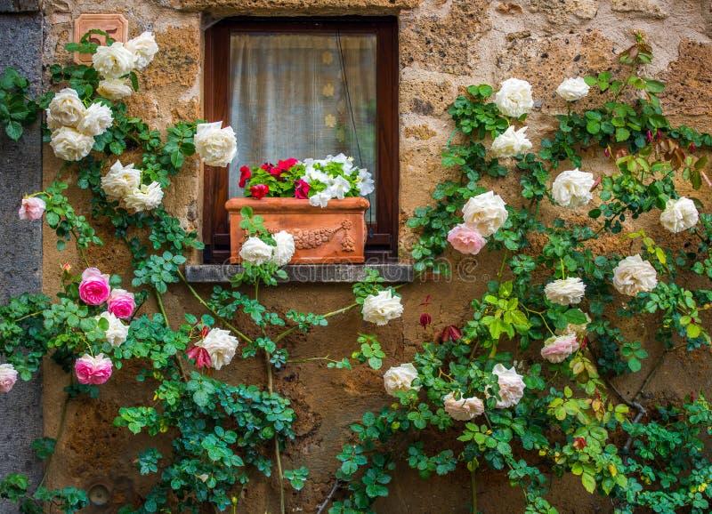 在房子墙壁的白玫瑰在城市奇维塔di Bagnoregi 免版税库存照片