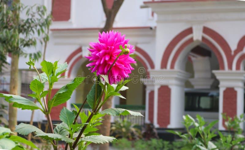 在房子庭院前面的桃红色达莉亚Ful花在孟加拉国 库存图片