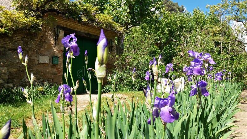 在房子的入口的淡紫色花 免版税图库摄影