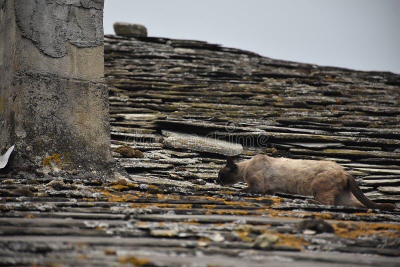 在房子的屋顶的猫走在一风暴日的 免版税图库摄影