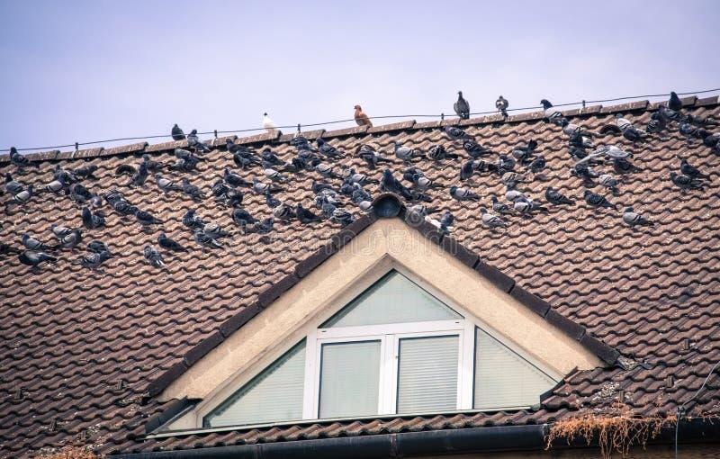 在房子的屋顶的鸽子 免版税图库摄影