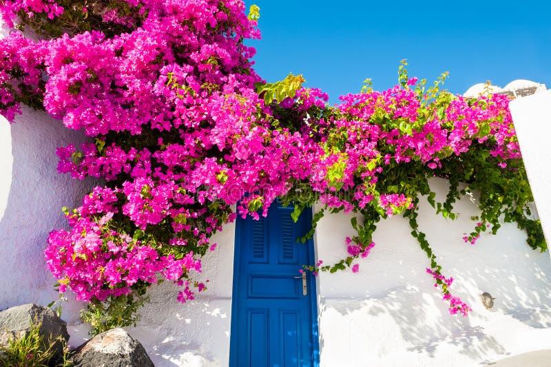 在房子的门面的桃红色花 大厦希腊小山海岛santorini 库存照片