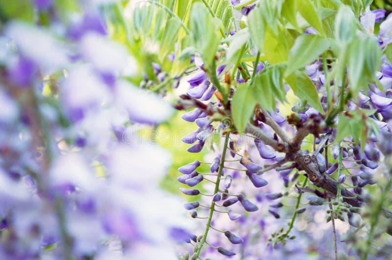 在所有它的荣耀的芬芳紫藤 库存图片