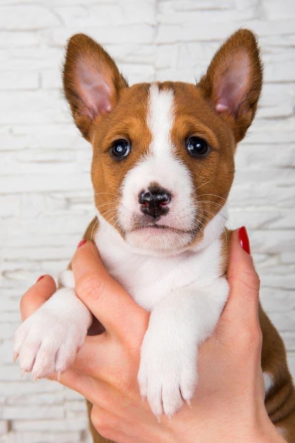 在所有者的手上的滑稽的Basenji小狗 库存图片