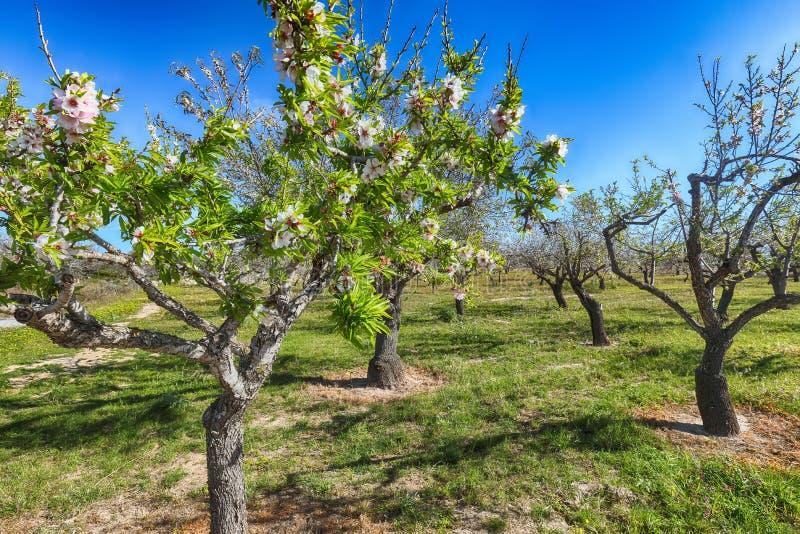 在扁桃分支的美丽的桃红色杏仁花在春天意大利庭院,西西里里 库存照片