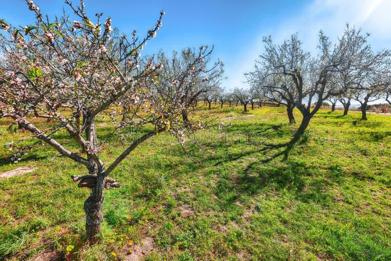 在扁桃分支的美丽的桃红色杏仁花在春天意大利庭院,西西里里 库存图片