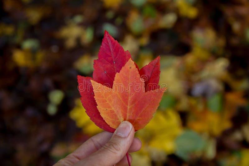 在手上举行的充满活力的秋天叶子 图库摄影