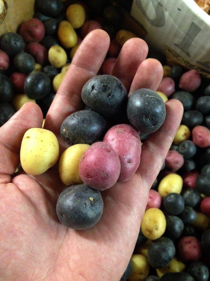 在手上的小红色,蓝色和白色有机土豆 库存图片