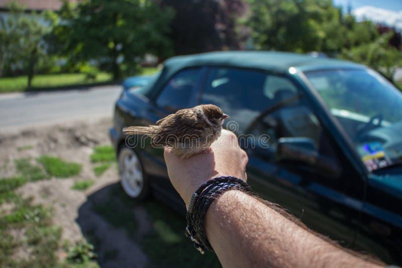 在手上的鸟,在匈牙利拍的照片 免版税库存照片