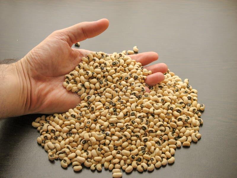 在手中关闭干黑眼豆或豆豇豆unguiculata或豇豆有棕色木背景 库存照片