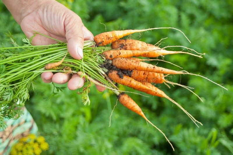 在手中拿着从地方种田的年长妇女的手红萝卜束,有新鲜农产品的,生物食物有机蔬菜庭院 免版税图库摄影