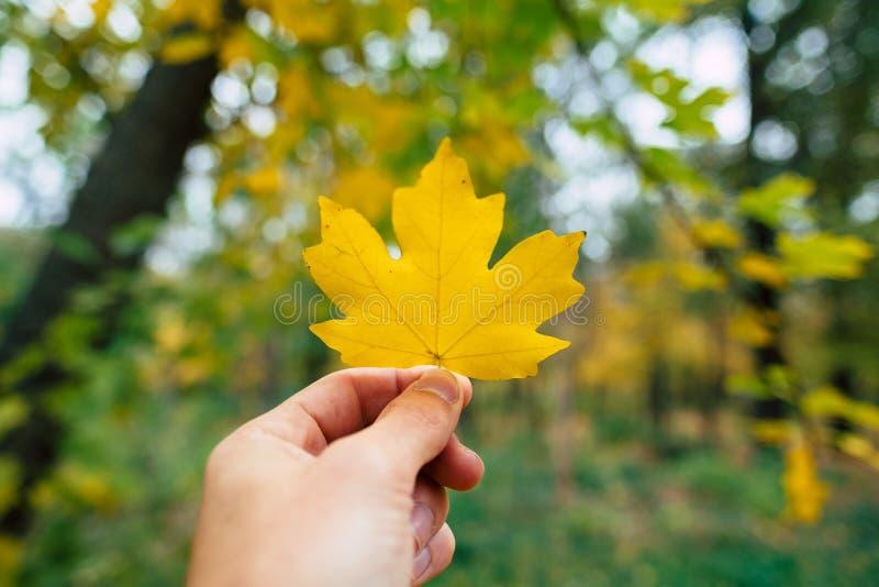 在手中拿着秋天金黄黄色叶子 库存图片