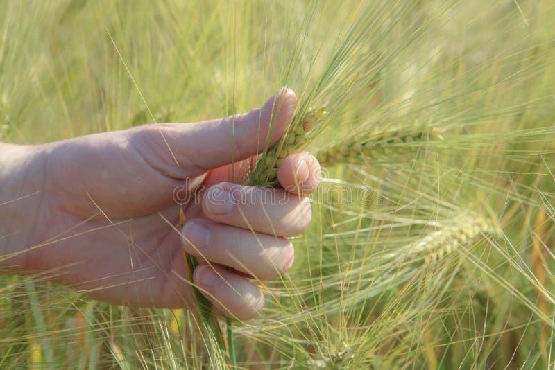 在手中麦子的小尖峰,在手指 图库摄影