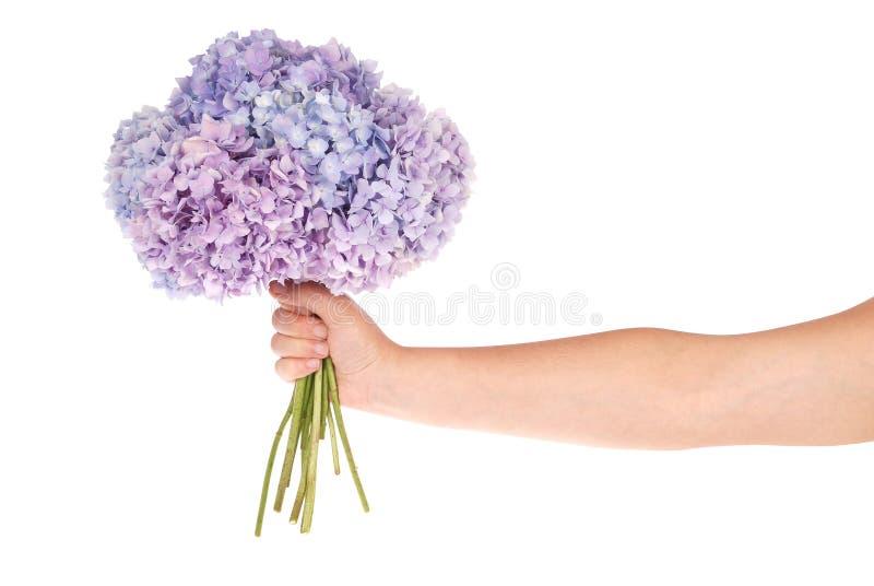 在手中紫色花八仙花属(裁减路线) 免版税库存照片