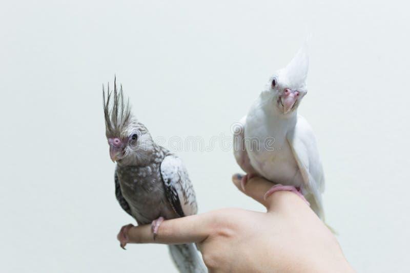 在手指女性的婴孩灰色和白色小形鹦鹉鸟 图库摄影