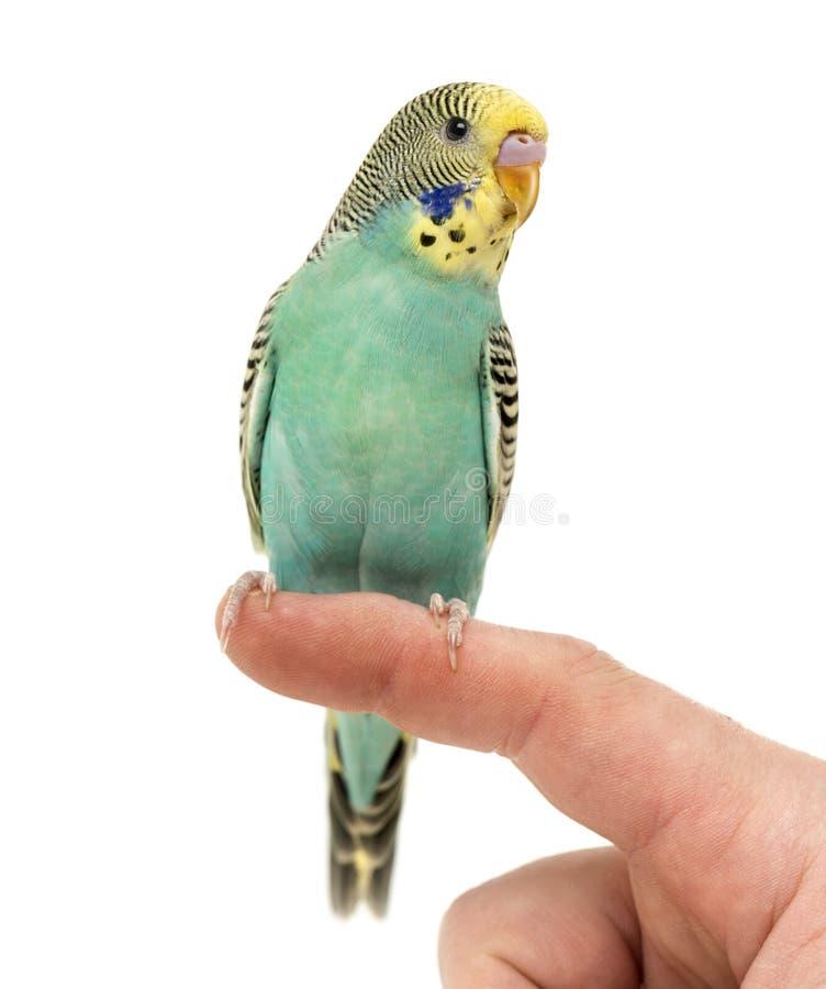 在手指栖息的鹦哥长尾小鹦鹉 免版税库存图片